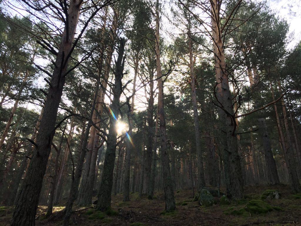 Pine forest, Cercedilla Madrid foraging Goddess