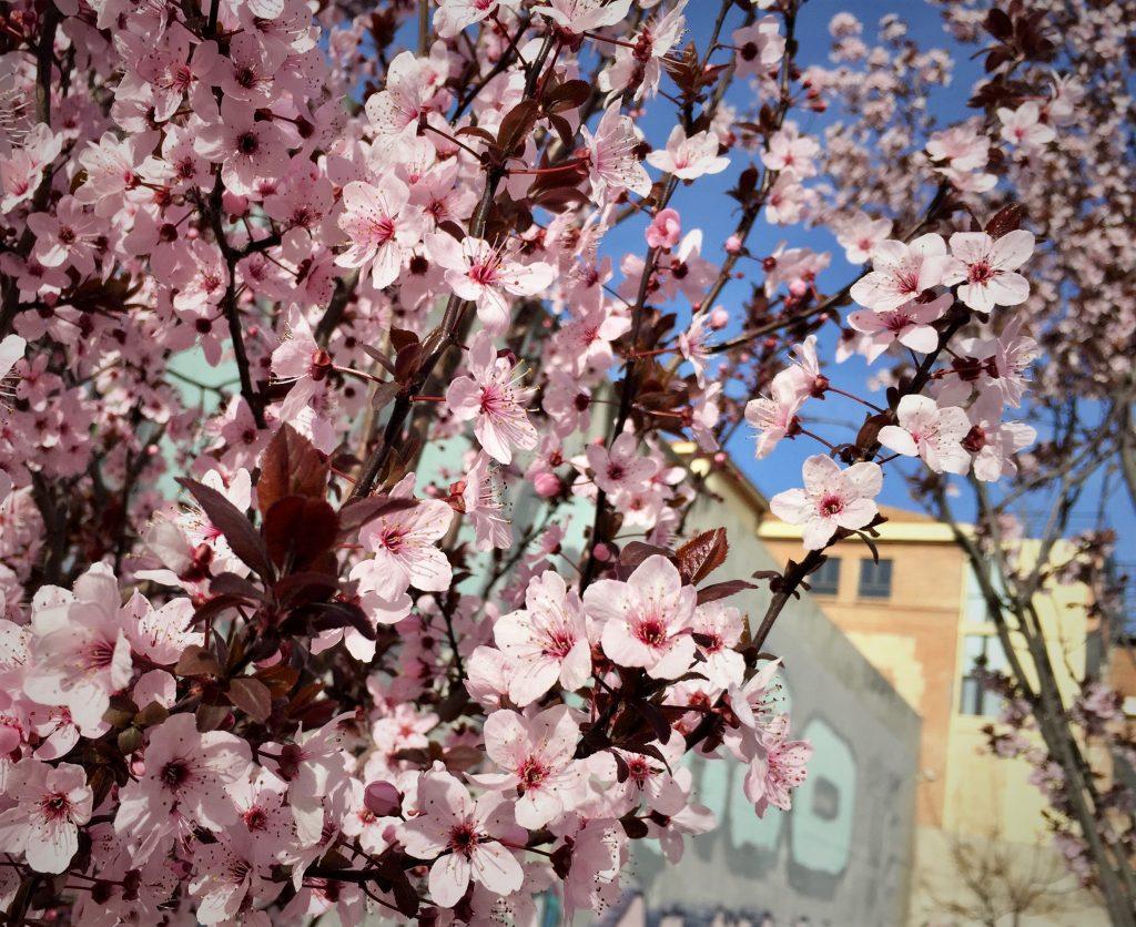 madrid cherry blossom