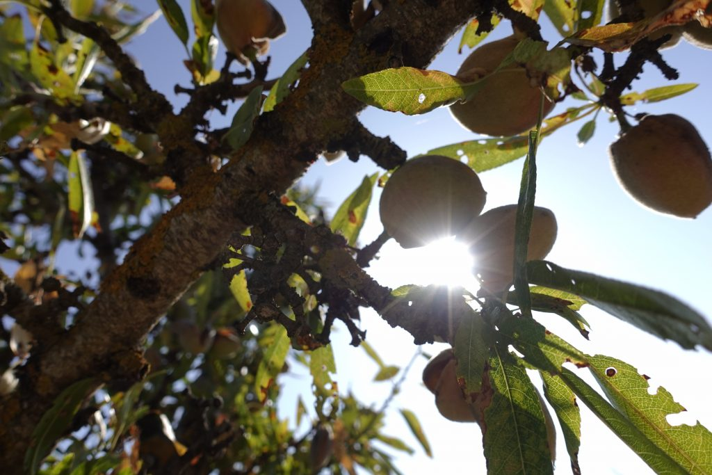 almond picking off-grid life